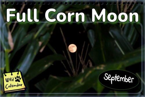 Read more about the article Full Corn Moon