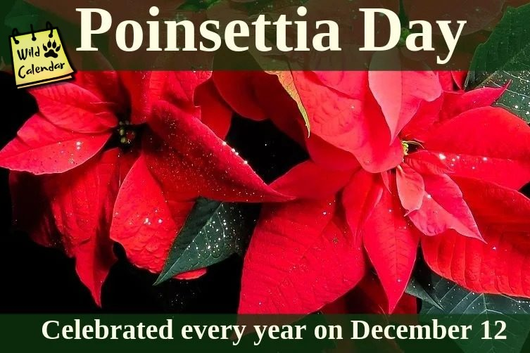 You are currently viewing Poinsettia Day