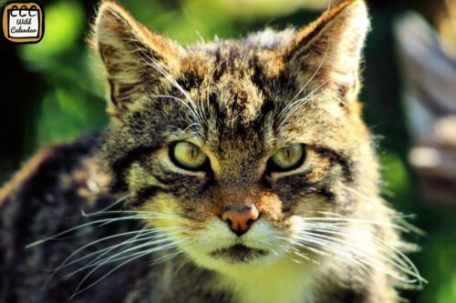 Read more about the article Scottish Wildcat Day