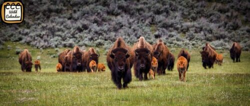 Read more about the article Bison Ten Yell Day