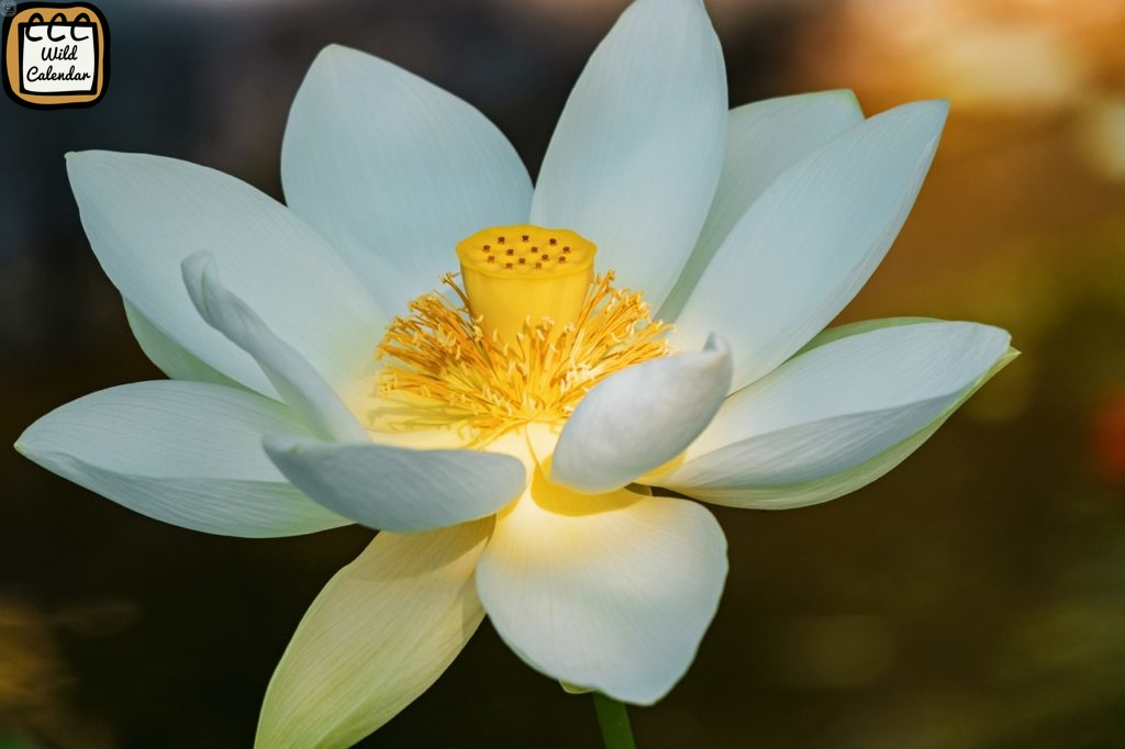 White Lotus Day