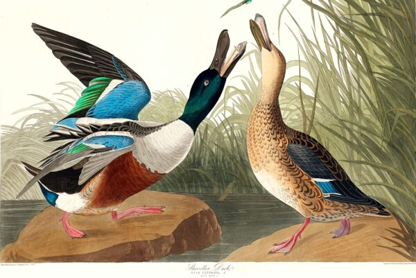 Shoveller Duck from Birds of America (1827) by John James Audubon